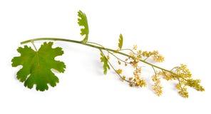 Cordata del Macleaya, il piuma-papavero cinque-seminato Isolato su bianco Immagine Stock Libera da Diritti
