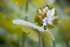 Cordata emergente Plume Poppy del Macleaya del fiore fotografia stock libera da diritti