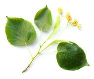 cordata Pequeño-con hojas del Tilia del Linden- Fotografía de archivo