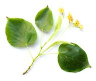 cordata Pequeno-com folhas do Tilia do Linden- Fotografia de Stock