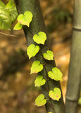 Cordate Leaf. A close-up of heart-shaped leaves on bamboo Royalty Free Stock Photography