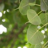 Cordate leaf Stock Photos