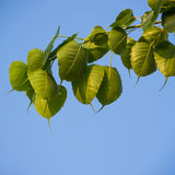 Cordate leaf Stock Photography