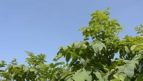 Cordate spikenard plants stock video