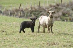 Cordeiro & ovelha pretos Foto de Stock