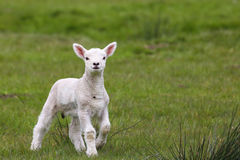 Cordeiro bonito no campo verde Imagem de Stock Royalty Free