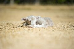Cordeiro bonito que dorme na grama seca Imagens de Stock Royalty Free