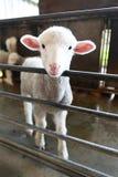 Cordeiro branco Fotografia de Stock