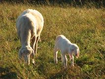 Cordeiro com a mãe dos carneiros que pasta Fotos de Stock