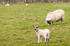 Cordeiro com pastagem da ovelha Fotografia de Stock