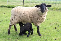 Cordeiro de alimentação dos carneiros Fotografia de Stock
