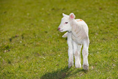 Cordeiro do bebê Fotografia de Stock