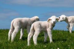 Cordeiro do bebê no campo verde Foto de Stock Royalty Free