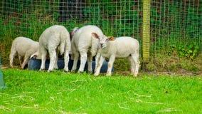 Cordeiro e carneiros Fotos de Stock