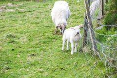 Cordeiro e mãe Imagens de Stock