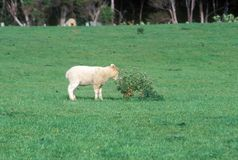 Cordeiro e paisagem verde em Nova Zelândia foto de stock