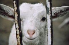 Cordeiro em Qingdao, China fotos de stock