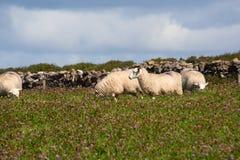 Cordeiro em uma exploração agrícola Imagens de Stock Royalty Free
