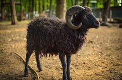 Cordeiro preto bonito com chifres Foto de Stock Royalty Free