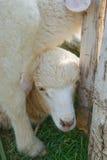Cordeiro que esconde sob outros carneiros Imagens de Stock