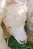 Cordeiro que esconde sob outros carneiros Foto de Stock Royalty Free