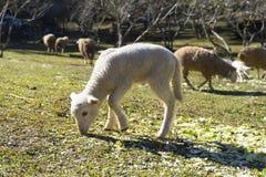 Cordeiro que pasta em um prado Fotos de Stock