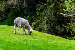 Cordeiro que pasta na grama fresca da mola foto de stock