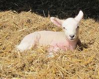 Cordeiro recém-nascido Foto de Stock Royalty Free