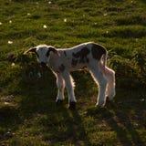 Cordeiro recém-nascido Fotografia de Stock Royalty Free