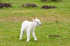 Cordeiro recém-nascido que chama para a matriz Fotos de Stock Royalty Free