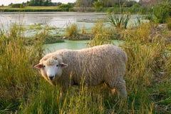 Cordeiro woolly branco na grama alta. Imagem de Stock Royalty Free
