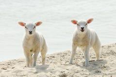 Cordeiros bonitos na praia na mola imagem de stock royalty free