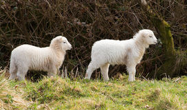 Cordeiros brancos no perfil Foto de Stock Royalty Free