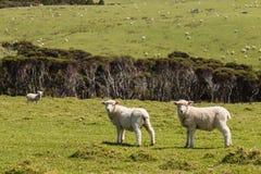 Cordeiros curiosos no prado Fotografia de Stock