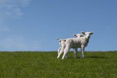 Cordeiros do bebê no campo Imagens de Stock