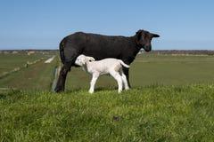 Cordeiros do bebê no campo Fotos de Stock