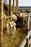 Cordeiros e carneiros imagem de stock royalty free