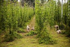 Cordeiros e colheita do lúpulo Fotografia de Stock Royalty Free