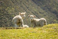 Cordeiros em Nova Zelândia Imagem de Stock