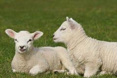 Cordeiros gêmeos Fotografia de Stock Royalty Free