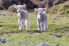 Cordeiros gêmeos felizes, Wainuiomata, Nova Zelândia Foto de Stock Royalty Free