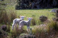 Cordeiros gêmeos, Wainuiomata, Nova Zelândia Imagens de Stock Royalty Free