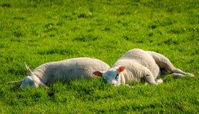 Cordeiros no campo durante a mola Fotografia de Stock Royalty Free