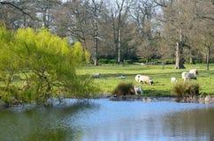 Cordeiros no campo inglês Fotos de Stock Royalty Free