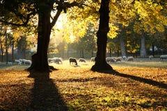 Cordeiros no parque. Fotos de Stock