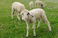 Cordeiros no prado verde Foto de Stock Royalty Free