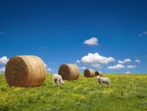 Cordeiros no prado verde Foto de Stock