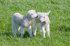 Cordeiros novos satisfeitos no pasto na primavera Fotografia de Stock Royalty Free