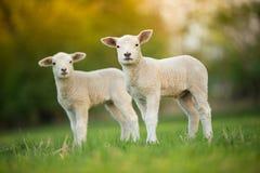 Cordeiros pequenos bonitos no prado verde fresco Fotos de Stock Royalty Free