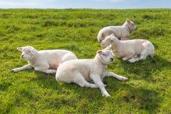Cordeiros pequenos que encontram-se na grama Imagem de Stock
